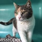 Cassiopee, Chat europeen à adopter