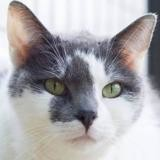 Chanel, Chat europeen à adopter