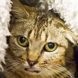 Victoire, Chat europeen à adopter