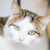 Sika, Chat europeen à adopter