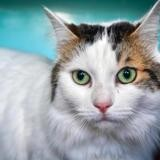 Neige a13845, Chat europeen à adopter