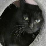 Blacky, Chat europeen à adopter