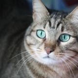 Lily, Chat europeen à adopter