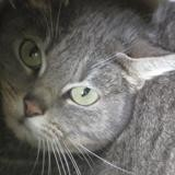 Ardoise, Chat europeen à adopter