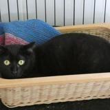 Onyx, Chat europeen à adopter