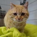 Alban, Chat europeen à adopter
