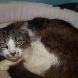 Chatoune, Chat europeen à adopter
