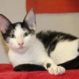 Peatch pab19559, Chaton europeen à adopter