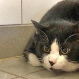 Schnoupat, Chat europeen à adopter