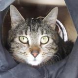 Maze, Chat europeen à adopter