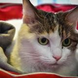 Milkie a13900, Chat europeen à adopter