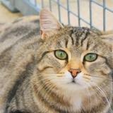 Titoune, Chat europeen à adopter