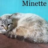 Minette, Chat europeen à adopter