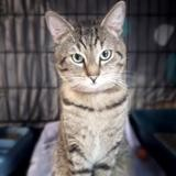 Chester, Chat europeen à adopter