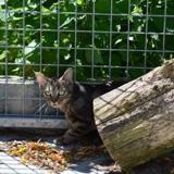 Cyrus, Chat europeen à adopter