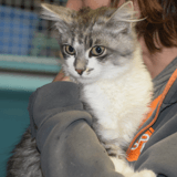 Softy, Chat europeen à adopter