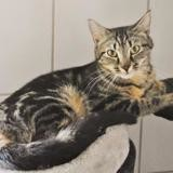 Charlotte, Chat europeen à adopter