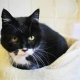 Mirabelle, Chat europeen à adopter