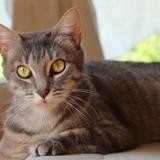 Melisse pab19653, Chat europeen à adopter