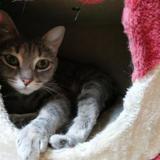 Kaya, Chat europeen à adopter