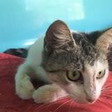 Amelie, Chat europeen à adopter