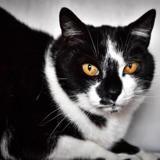 Nez noir a13951, Chat europeen à adopter