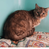 Oui-oui , Chat europeen à adopter