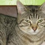 Moka, Chat europeen à adopter