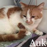 Aukee, Chat europeen à adopter