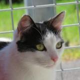 Pepita, Chat europeen à adopter