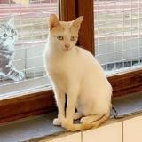 Girly, Chat europeen à adopter