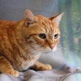 Raysser, Chat europeen à adopter