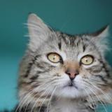 Kotik, Chat europeen à adopter