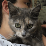 Roussette, Chat europeen à adopter