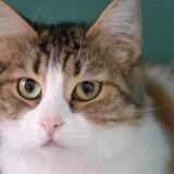 Ozzia, Chat europeen à adopter
