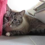 Lulu, Chat europeen à adopter