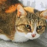 Chipette, Chat europeen à adopter