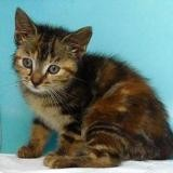 Poire, Chaton europeen à adopter