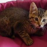 Pimprenelle, Chaton europeen à adopter