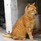 Fennec dit caramel, Chat europeen à adopter