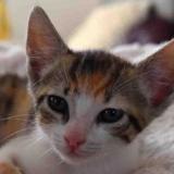 Scarlett, Chaton europeen à adopter