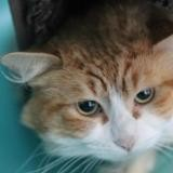 Pimousse, Chat europeen à adopter