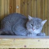 Norcy, Chat europeen à adopter