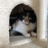 Lilou, Chat europeen à adopter