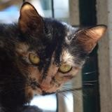 Janis, Chat europeen à adopter
