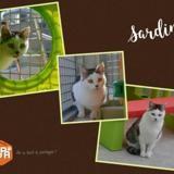 Sardine, Chat europeen à adopter