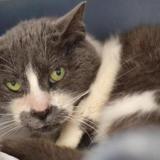Josephine, Chat europeen à adopter