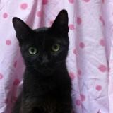 Tine, Chat europeen à adopter
