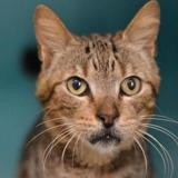 Pompon, Chat europeen à adopter