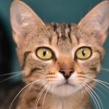 Rachel, Chat europeen à adopter